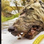 walf 150x150 - Giant Wolf in Siberia: Archaeologists discover perfectly preserved 40,000-year-old head