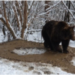 """433 150x150 - [VIDEO] The bear Ina """"lives"""" in an imaginary cage, after 20 years spent at the zoo in Piatra Neamţ"""